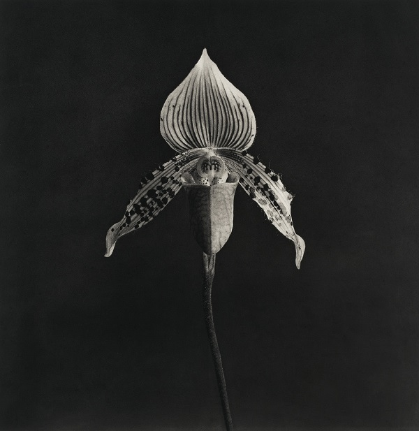 robert-mapplethorpe.-orchid